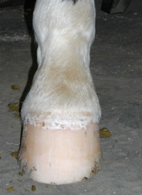 Right Hind Hoof after being trimmed viewed from the front