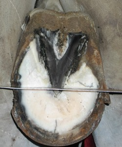 Hind hoof frog to toe proportion as seen from the bottom